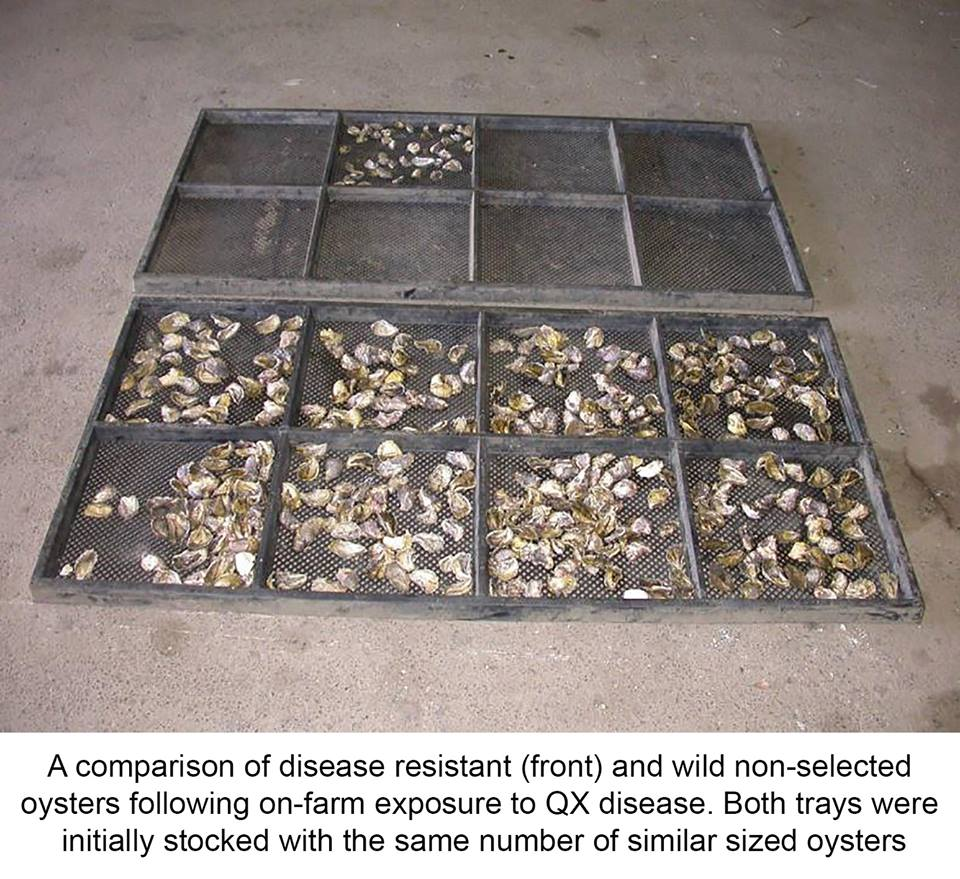 comparison of disease-resistant and wild oysters following exposure to QX disease