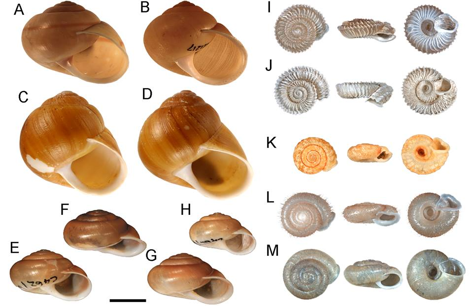 Figure shows parallelism/convergence in morphology among NW Australian camaenids, note that clusters (A-B, C-D, E-G, I-J, K-M) are not closely related)! Image reproduced with permission from Elsevier