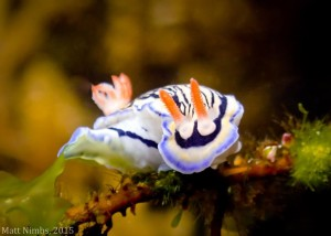 Hypselodoris maritima - Low Reef - compressed